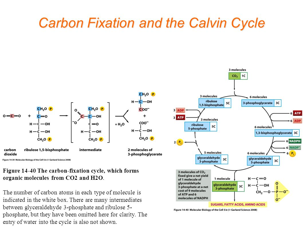 Carbon Fixation and the Calvin Cycle Figure 14-40 The carbon-fixation cycle, which forms organic molecules from CO2 and H2O.