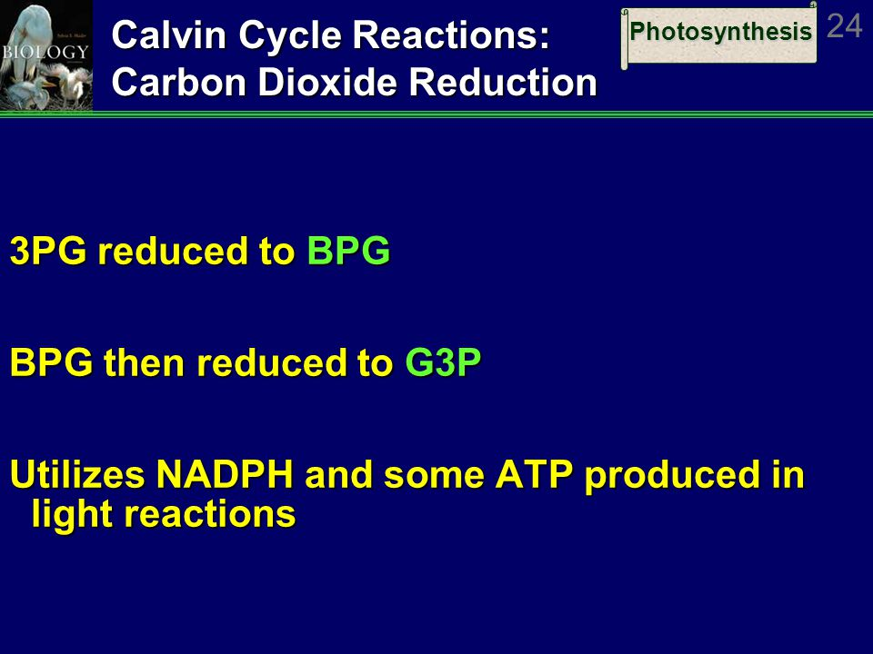 Photosynthesis 24 Calvin Cycle Reactions: Carbon Dioxide Reduction 3PG reduced to BPG BPG then reduced to G3P Utilizes NADPH and some ATP produced in light reactions