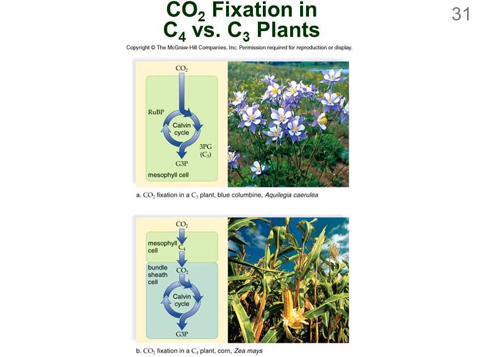 31 CO 2 Fixation in C 4 vs. C 3 Plants