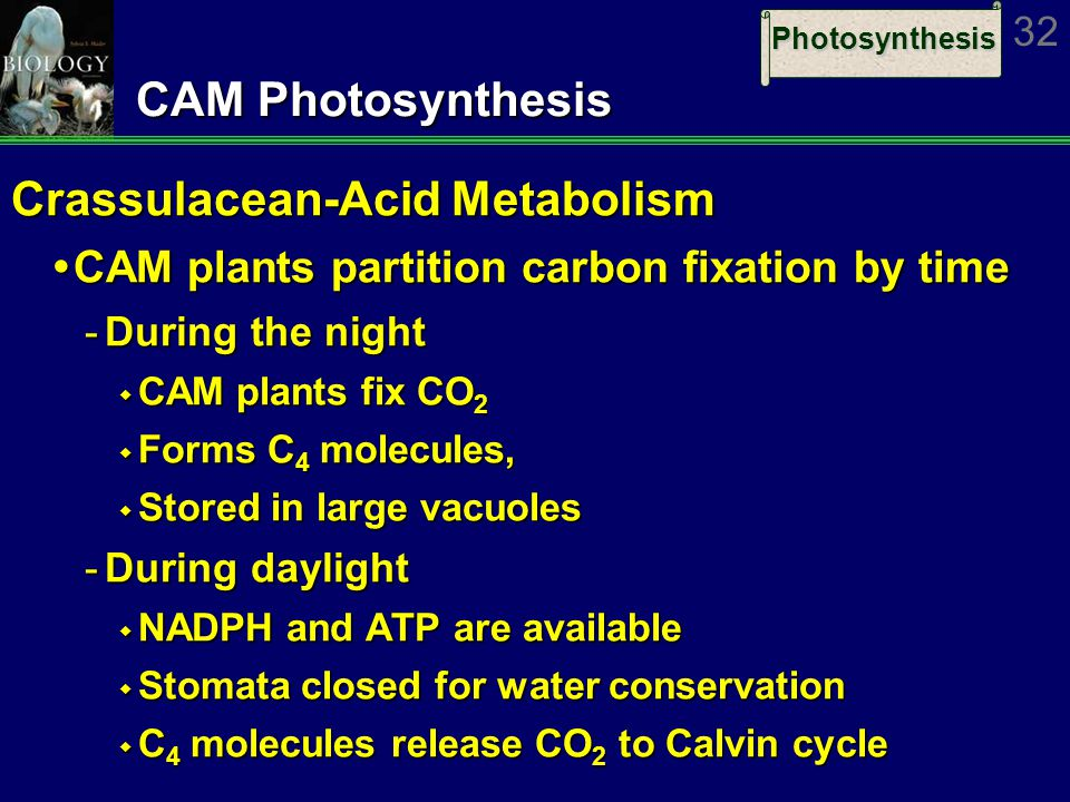 Photosynthesis 32 CAM Photosynthesis Crassulacean-Acid Metabolism  CAM plants partition carbon fixation by time ­During the night  CAM plants fix CO 2  Forms C 4 molecules,  Stored in large vacuoles ­During daylight  NADPH and ATP are available  Stomata closed for water conservation  C 4 molecules release CO 2 to Calvin cycle