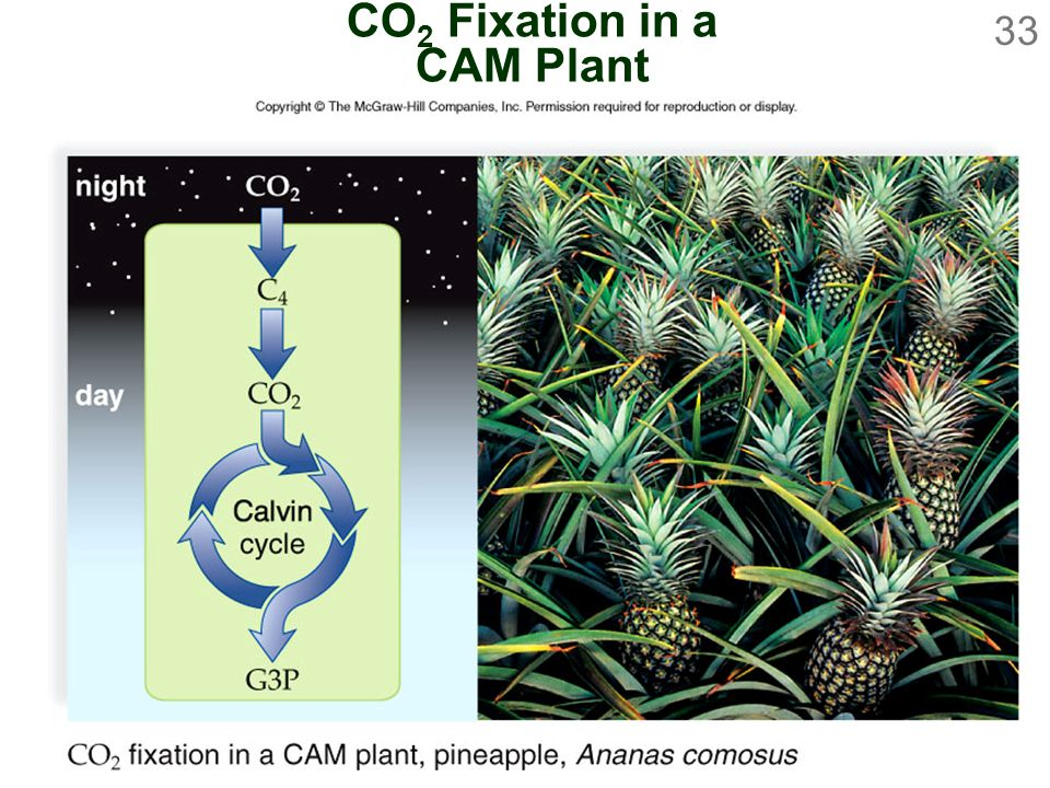 33 CO 2 Fixation in a CAM Plant