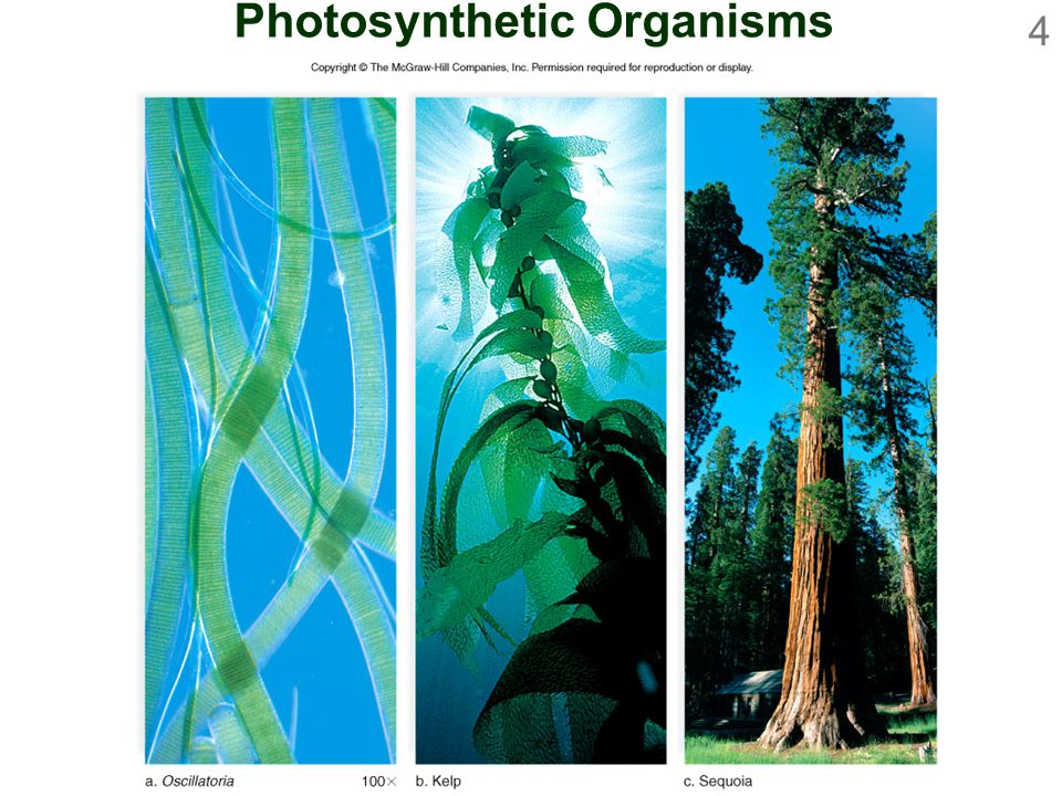 4 Photosynthetic Organisms