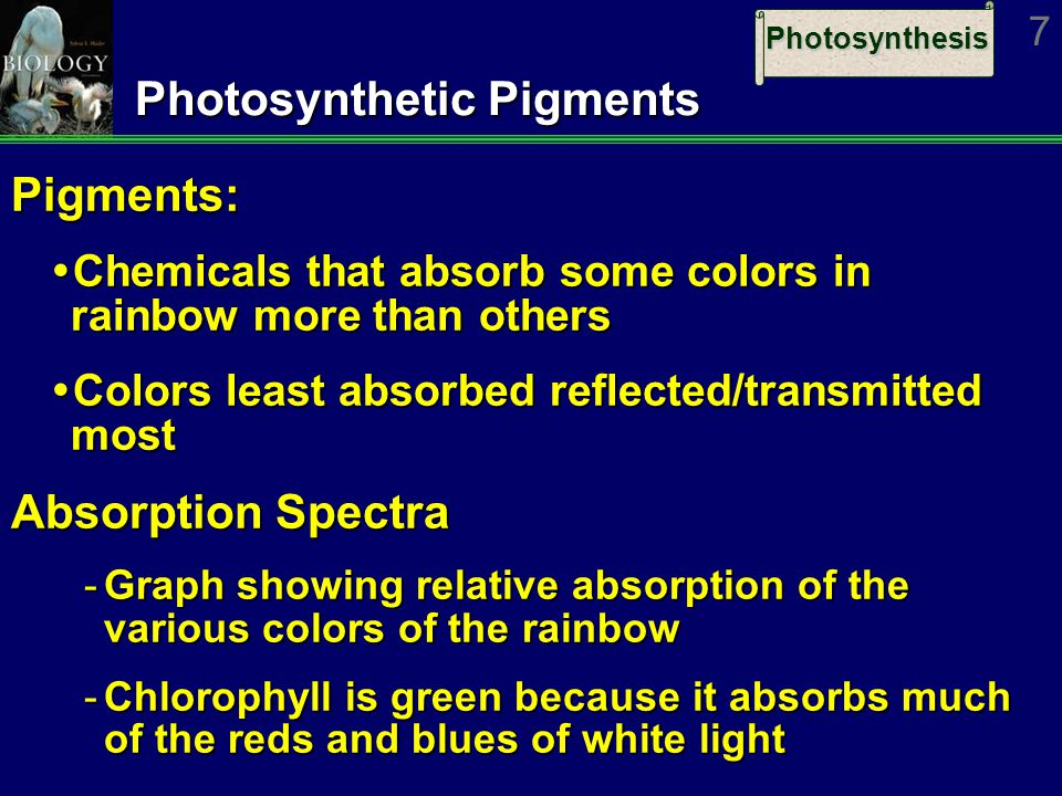 Photosynthesis 7 Photosynthetic Pigments Pigments:  Chemicals that absorb some colors in rainbow more than others  Colors least absorbed reflected/transmitted most Absorption Spectra ­Graph showing relative absorption of the various colors of the rainbow ­Chlorophyll is green because it absorbs much of the reds and blues of white light