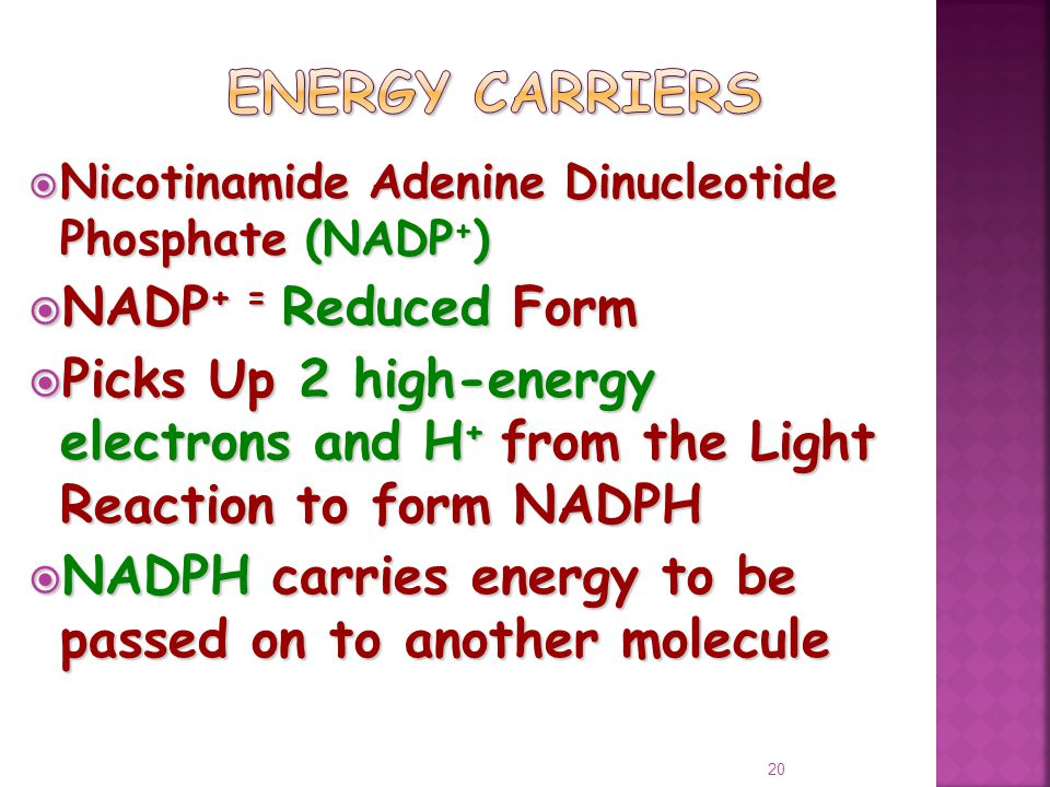  Nicotinamide Adenine Dinucleotide Phosphate (NADP + )  NADP + = Reduced Form  Picks Up 2 high-energy electrons and H + from the Light Reaction to form NADPH  NADPH carries energy to be passed on to another molecule 20