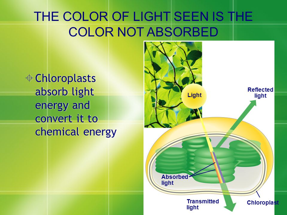  Chloroplasts absorb light energy and convert it to chemical energy Light Reflected light Absorbed light Transmitted light Chloroplast THE COLOR OF L