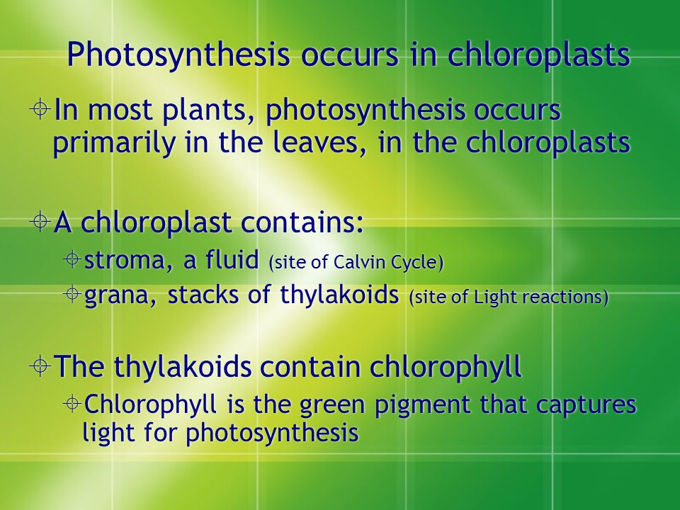  In most plants, photosynthesis occurs primarily in the leaves, in the chloroplasts  A chloroplast contains:  stroma, a fluid (site of Calvin Cycle