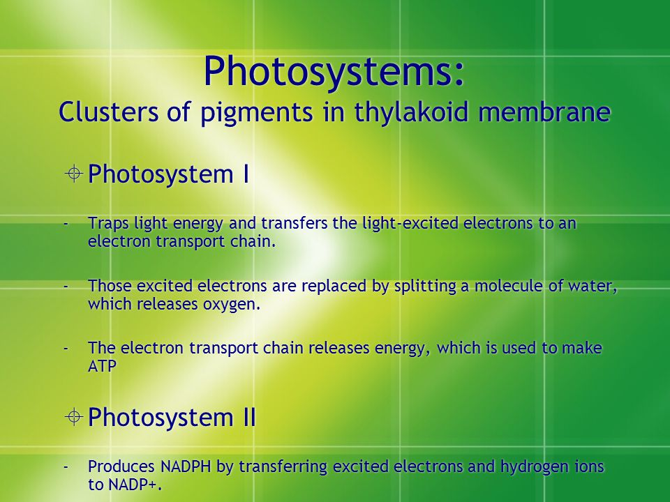 Photosystems: Clusters of pigments in thylakoid membrane  Photosystem I -Traps light energy and transfers the light-excited electrons to an electron