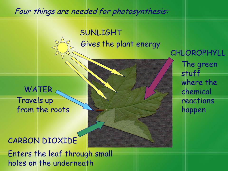 Four things are needed for photosynthesis: Travels up from the roots WATER CARBON DIOXIDE Enters the leaf through small holes on the underneath SUNLIG