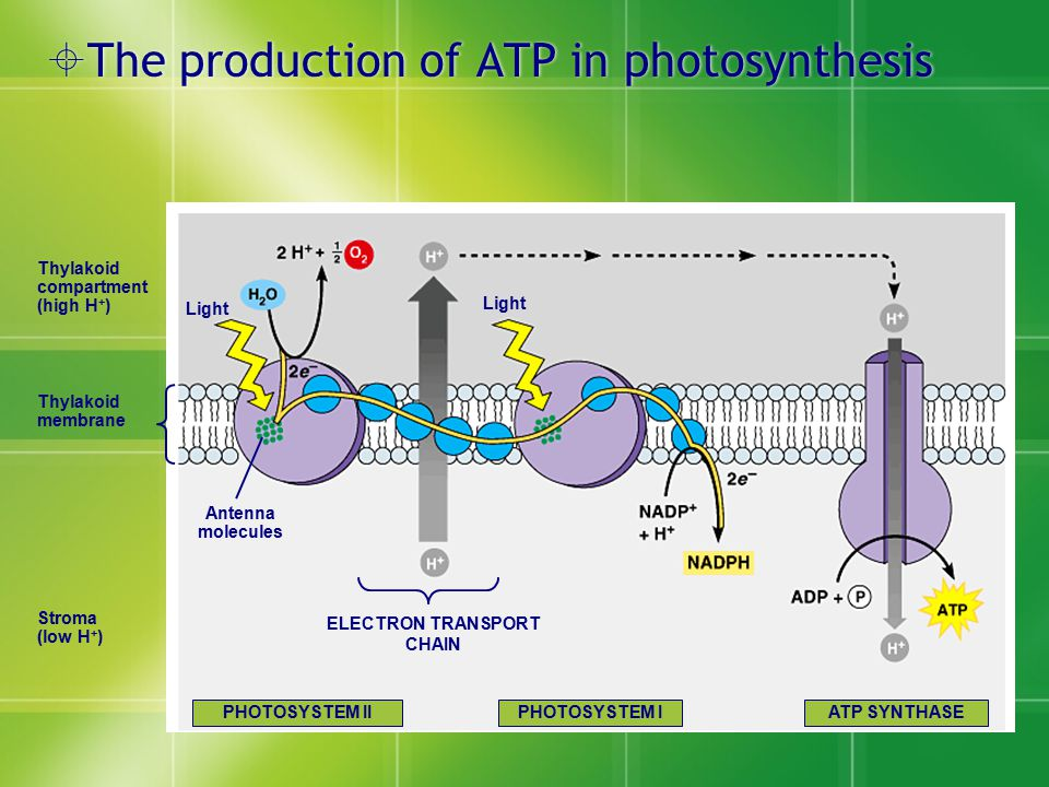  The production of ATP in photosynthesis Thylakoid compartment (high H + ) Thylakoid membrane Stroma (low H + ) Light Antenna molecules Light ELECTRO