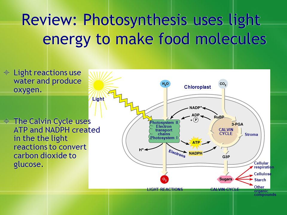 Review: Photosynthesis uses light energy to make food molecules Light Chloroplast Photosystem II Electron transport chains Photosystem I CALVIN CYCLE