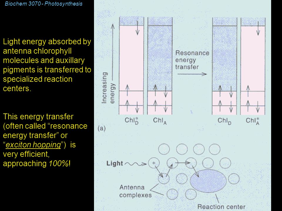 Biochem 3070 - Photosynthesis Light energy absorbed by antenna chlorophyll molecules and auxillary pigments is transferred to specialized reaction centers.