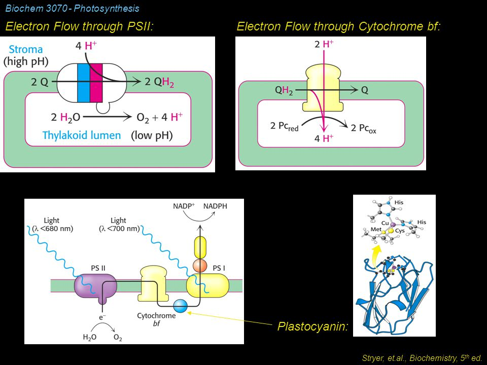 Biochem 3070 - Photosynthesis Electron Flow through PSII:Electron Flow through Cytochrome bf: Plastocyanin: Stryer, et.al., Biochemistry, 5 th ed.