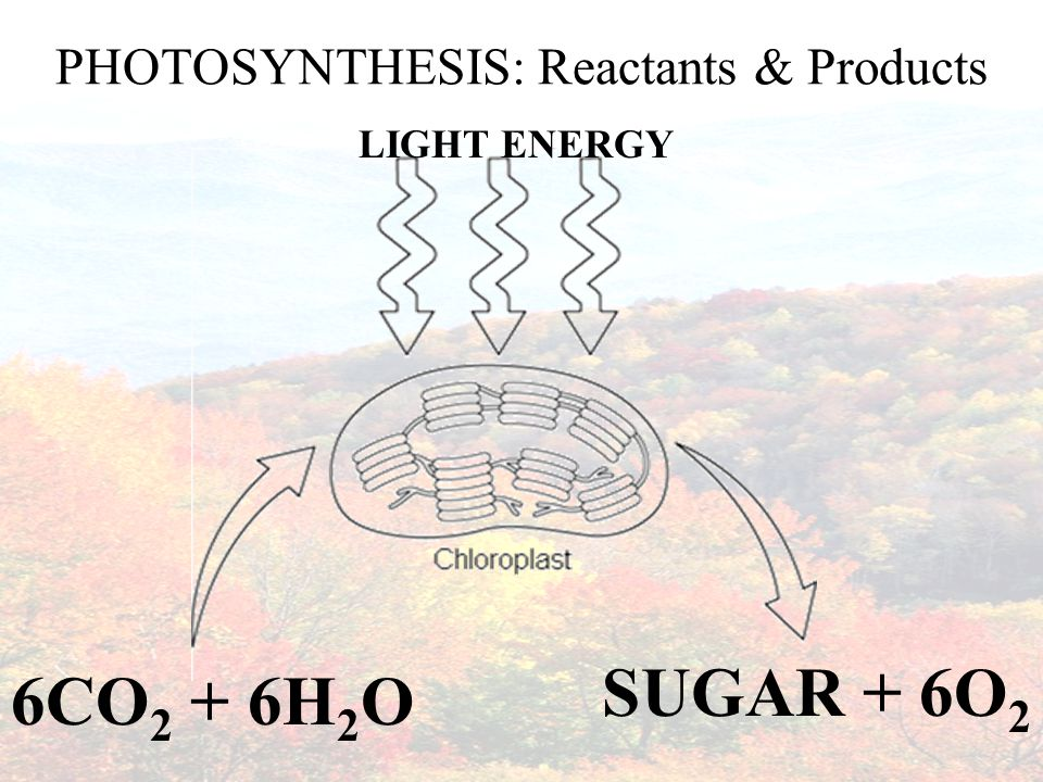 In addition to water and carbon dioxide, __________________ and __________________ are needed for photosynthesis to happen.