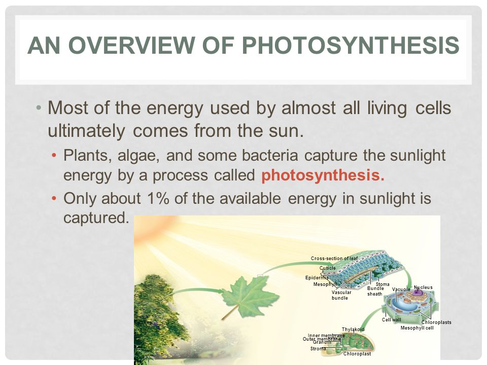 AN OVERVIEW OF PHOTOSYNTHESIS Most of the energy used by almost all living cells ultimately comes from the sun.