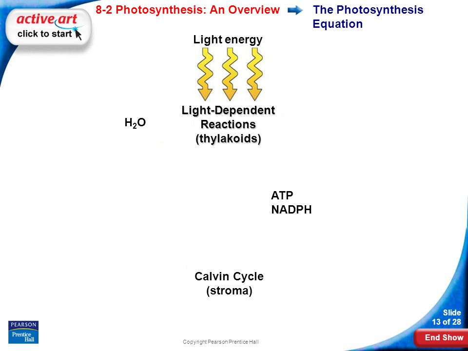 End Show Slide 13 of 28 8-2 Photosynthesis: An Overview Copyright Pearson Prentice Hall The Photosynthesis Equation O2O2 CO 2 + H 2 0 Sugar ADP NADP + Light-Dependent Reactions (thylakoids) H2OH2O ATP NADPH Calvin Cycle (stroma) Light energy