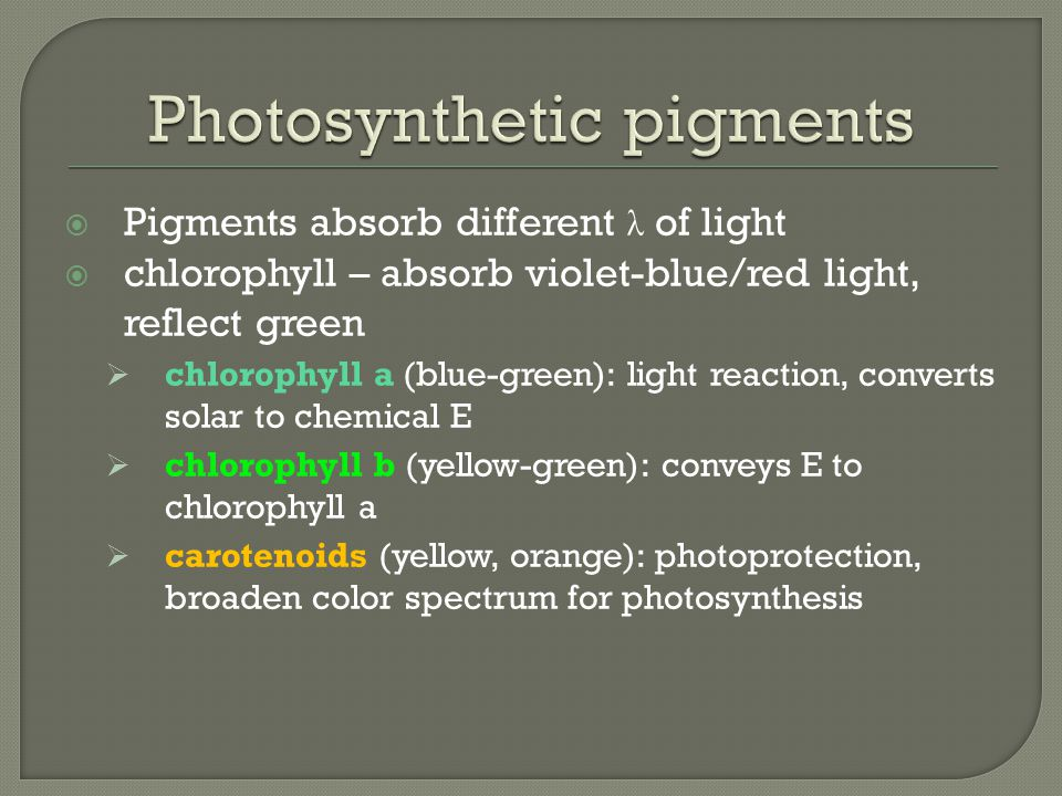  Pigments absorb different λ of light  chlorophyll – absorb violet-blue/red light, reflect green  chlorophyll a (blue-green): light reaction, converts solar to chemical E  chlorophyll b (yellow-green): conveys E to chlorophyll a  carotenoids (yellow, orange): photoprotection, broaden color spectrum for photosynthesis