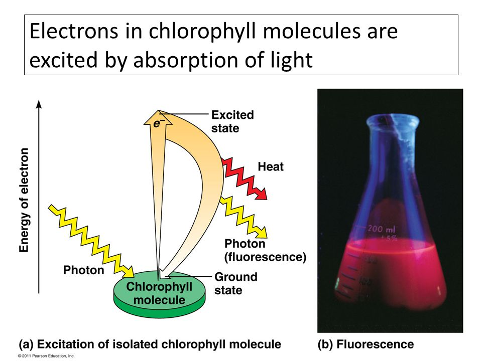 Electrons in chlorophyll molecules are excited by absorption of light