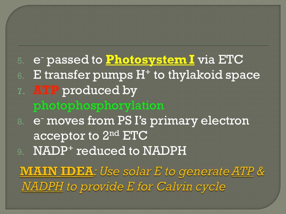 5. e - passed to Photosystem I via ETC 6. E transfer pumps H + to thylakoid space 7.