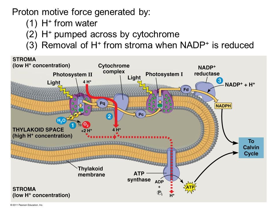 Proton motive force generated by: (1)H + from water (2)H + pumped across by cytochrome (3)Removal of H + from stroma when NADP + is reduced