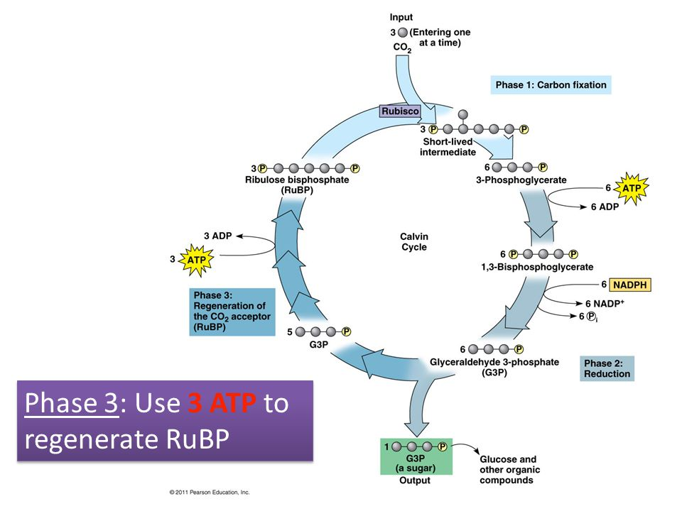 Phase 3: Use 3 ATP to regenerate RuBP