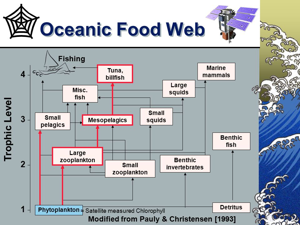 Oceanic Food Web Modified from Pauly & Christensen [1993] Detritus Benthic fish Benthic invertebrates Small zooplankton Large zooplankton Trophic Leve