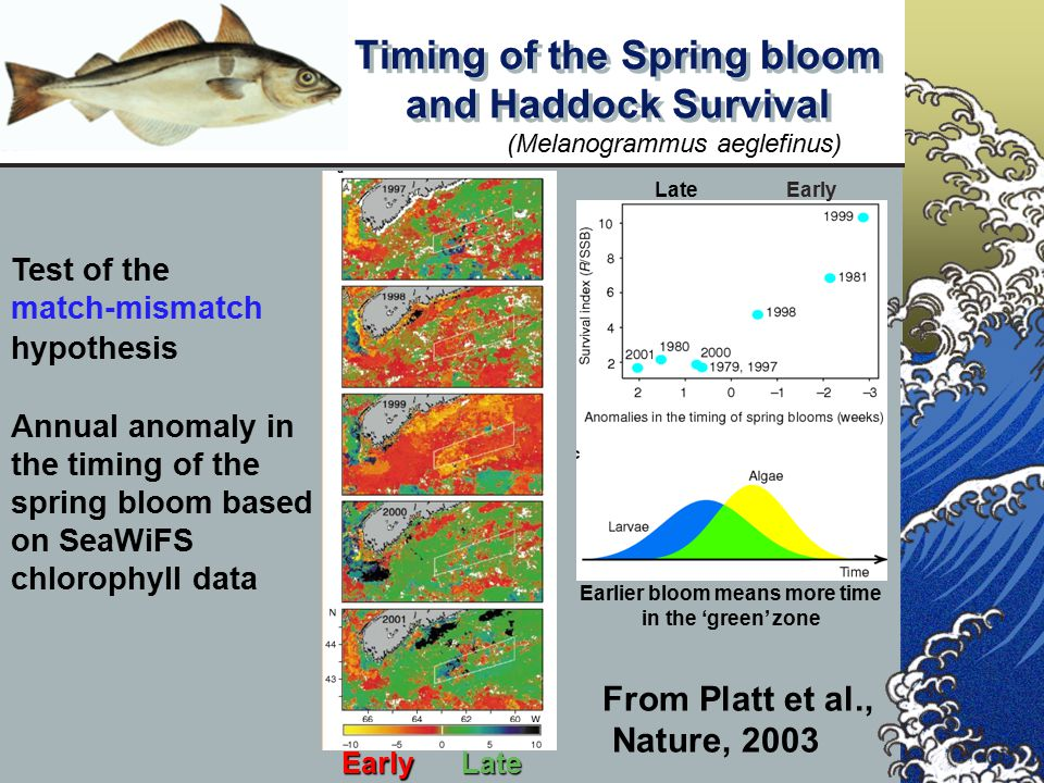 From Platt et al., Nature, 2003 Test of the match-mismatch hypothesis Annual anomaly in the timing of the spring bloom based on SeaWiFS chlorophyll da