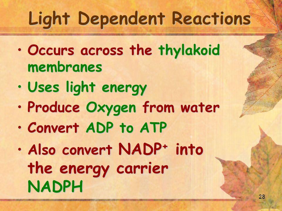 28 Occurs across the thylakoid membranesOccurs across the thylakoid membranes Uses light energyUses light energy Produce Oxygen from waterProduce Oxyg