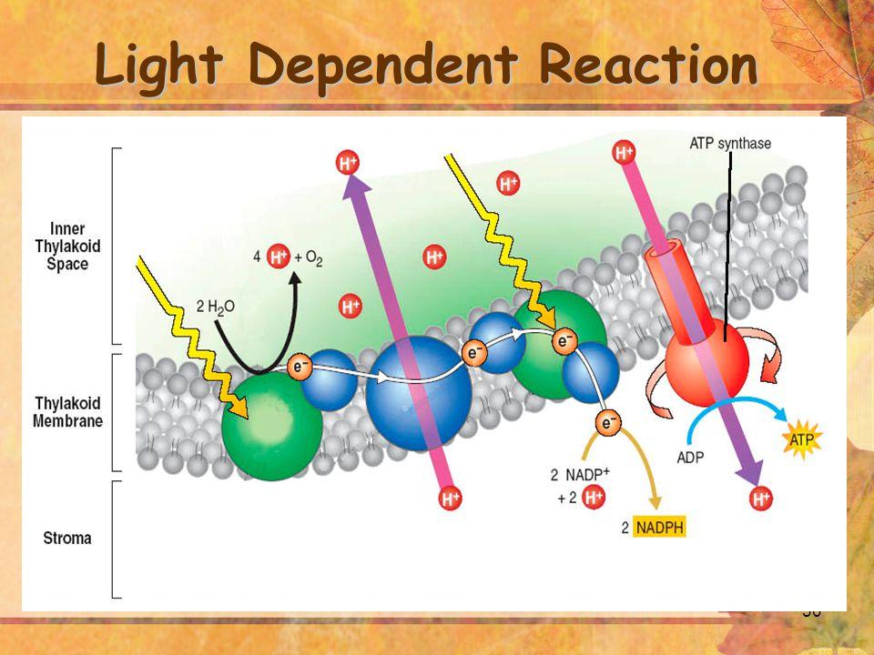 30 Light Dependent Reaction
