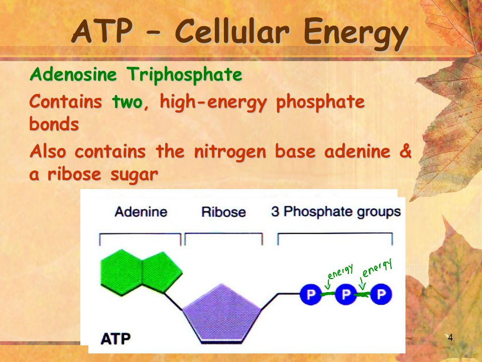 4 ATP – Cellular Energy Adenosine Triphosphate Contains two, high-energy phosphate bonds Also contains the nitrogen base adenine & a ribose sugar