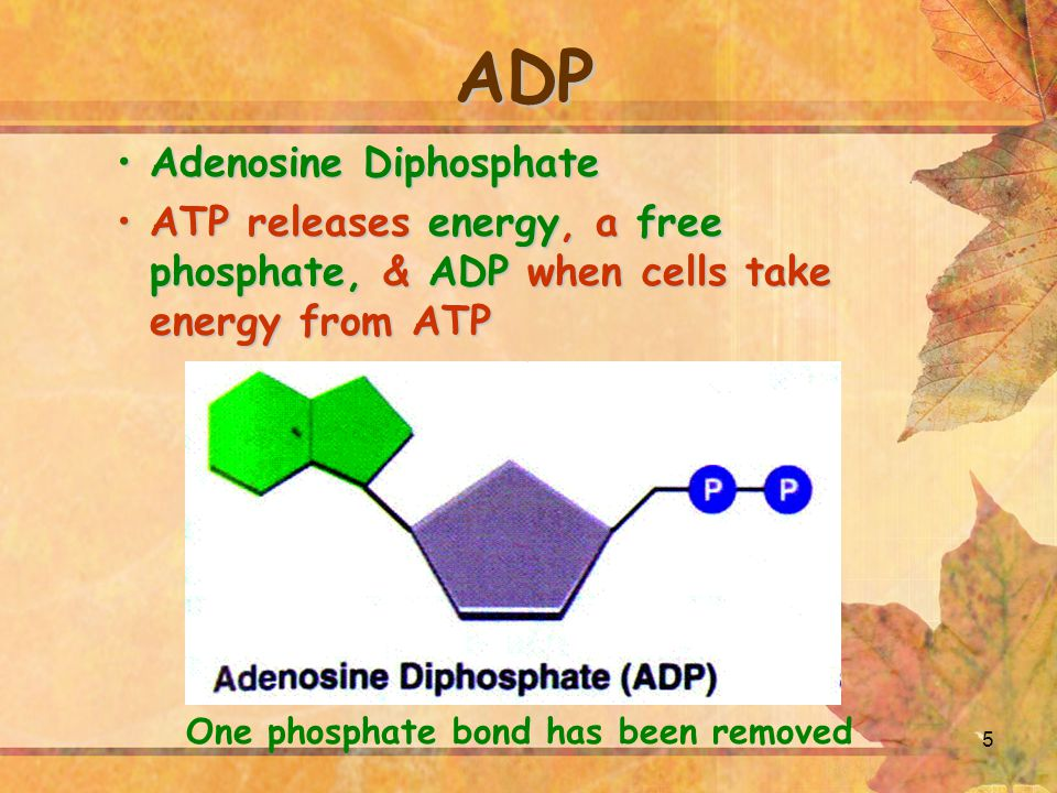 5 ADP Adenosine DiphosphateAdenosine Diphosphate ATP releases energy, a free phosphate, & ADP when cells take energy from ATPATP releases energy, a fr