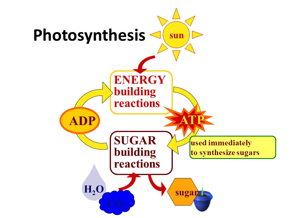 Bring In – light – CO 2 –H2O–H2O Let Out –O2–O2 Move Around – sugars So what does a plant need? 6CO 2 6H 2 O C 6 H 12 O 6 6O 2 light energy  +++ root