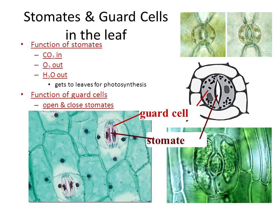 Chloroplasts Chloroplasts in cell Leaf Leaves Chloroplast absorb sunlight & CO 2 make ENERGY & SUGAR Chloroplasts contain Chlorophyll CO 2 Chloroplast
