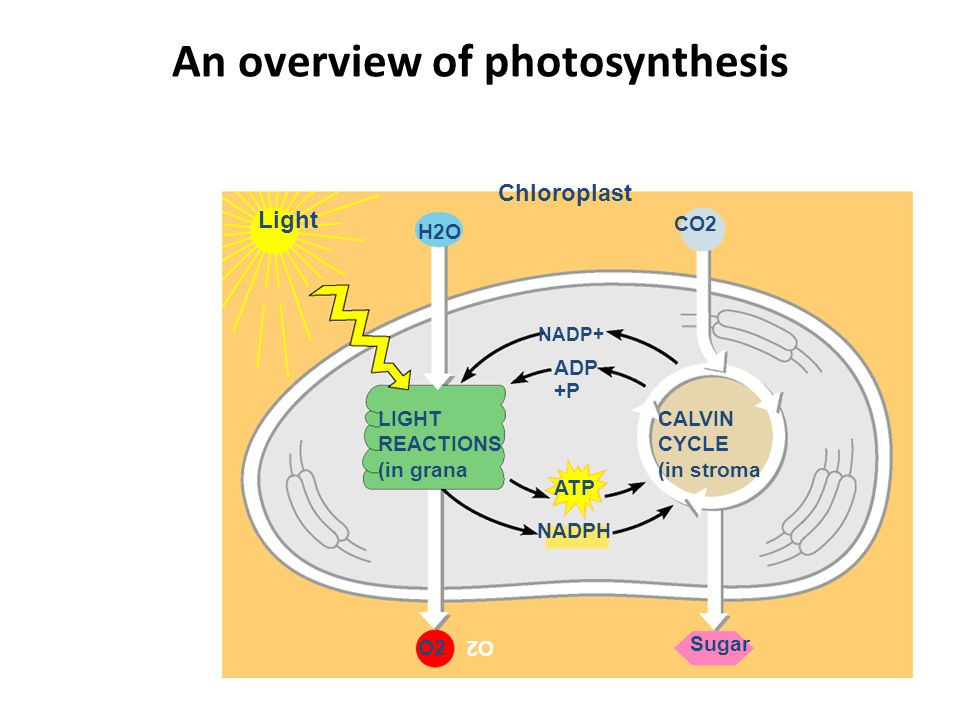 Stomates & Guard Cells in the leaf Function of stomates – CO 2 in – O 2 out – H 2 O out gets to leaves for photosynthesis Function of guard cells – open & close stomates guard cell stomate