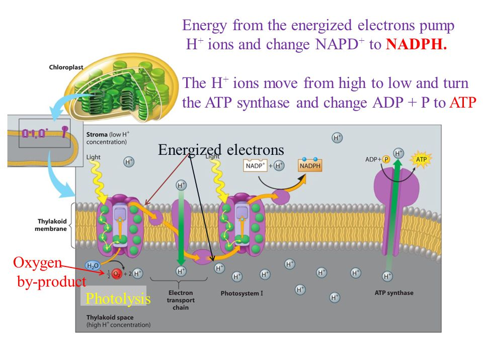 Light-Dependent Reactions absorption of light energy by chlorophyll As sunlight strikes the chlorophyll molecules in a photosystem of the thylakoid membrane, the energy in the light is transferred to electrons.