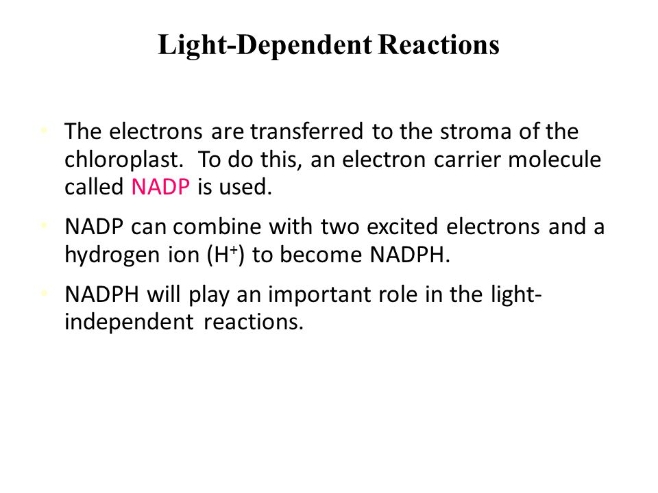 """Light-Dependent Reactions Chemiosmosis: This """"lost"""" energy can be used to form ATP from ADP, or to pump hydrogen ions into the center of the thylakoid"""