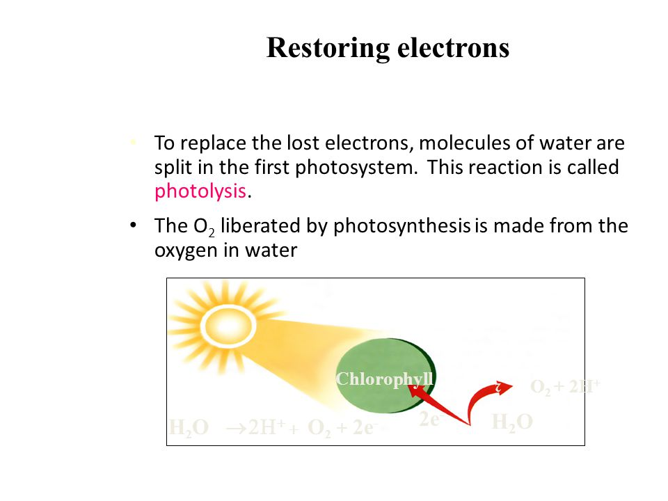 Light-Dependent Reactions The electrons are transferred to the stroma of the chloroplast. To do this, an electron carrier molecule called NADP is used