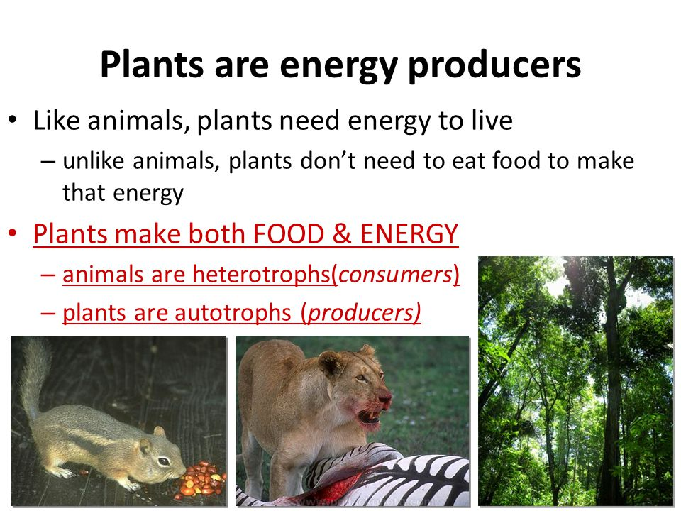 AN OVERVIEW OF PHOTOSYNTHESIS Photosynthesis is the process by which autotrophic organisms use light energy to make sugar and oxygen gas from carbon d