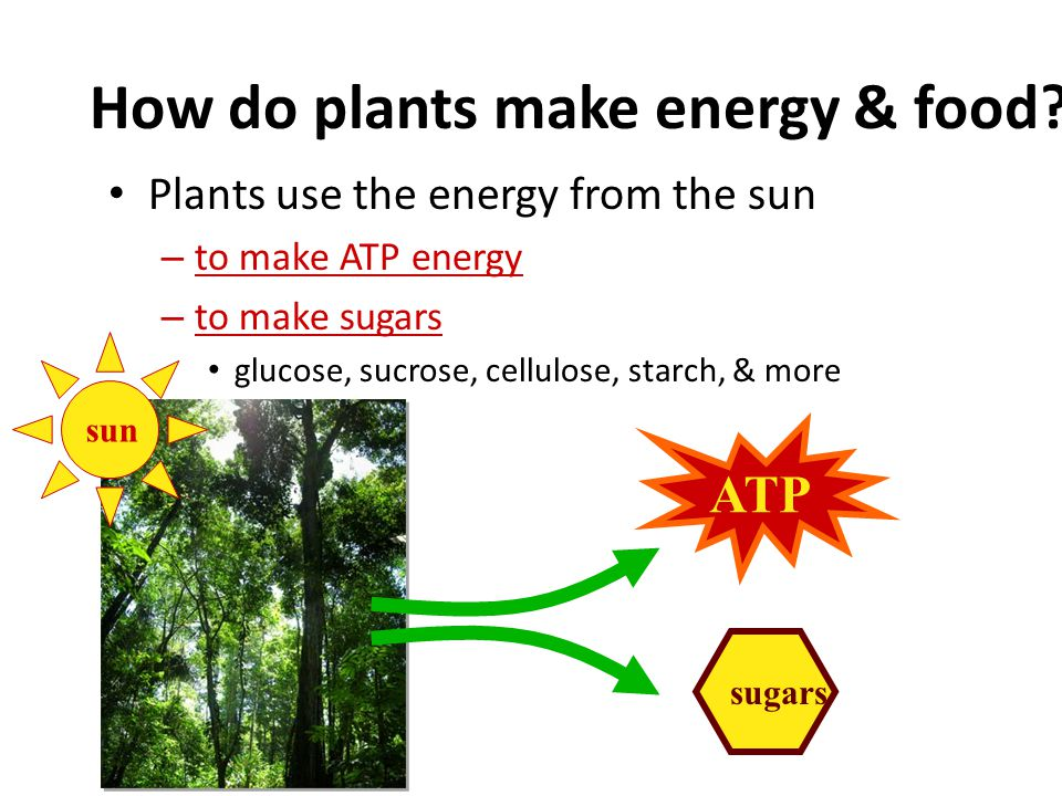 Plants are energy producers Like animals, plants need energy to live – unlike animals, plants don't need to eat food to make that energy Plants make b