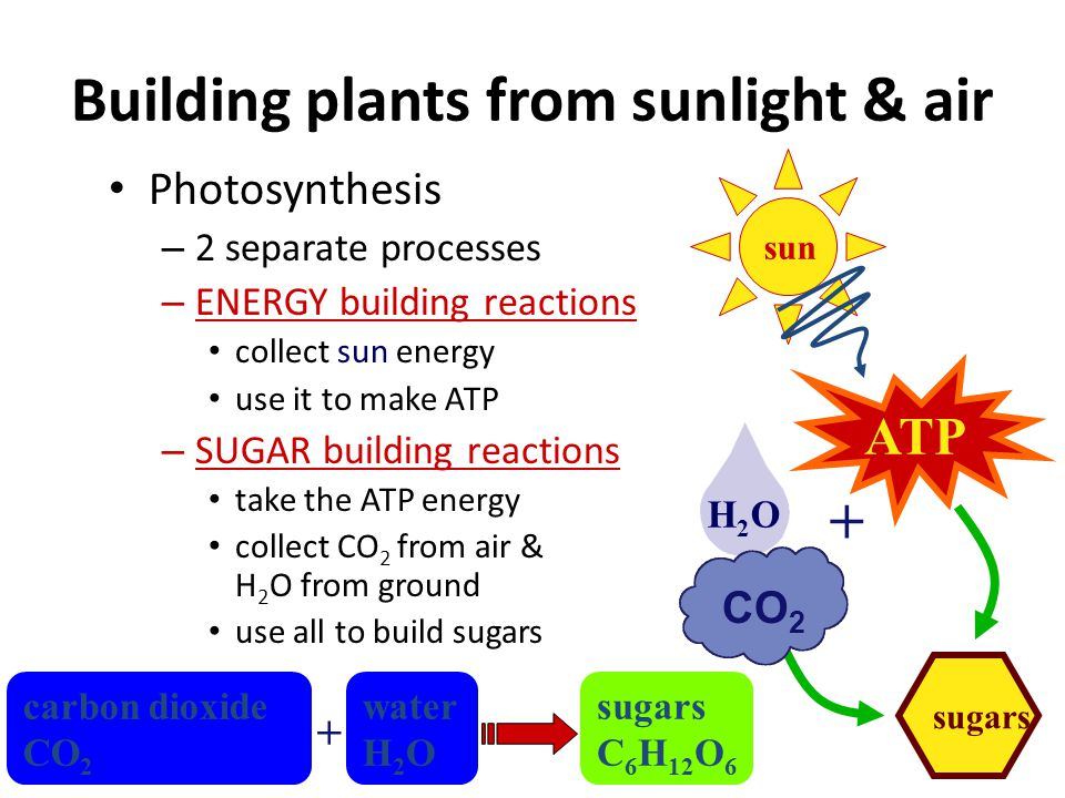 How do plants make energy & food? Plants use the energy from the sun – to make ATP energy – to make sugars glucose, sucrose, cellulose, starch, & more