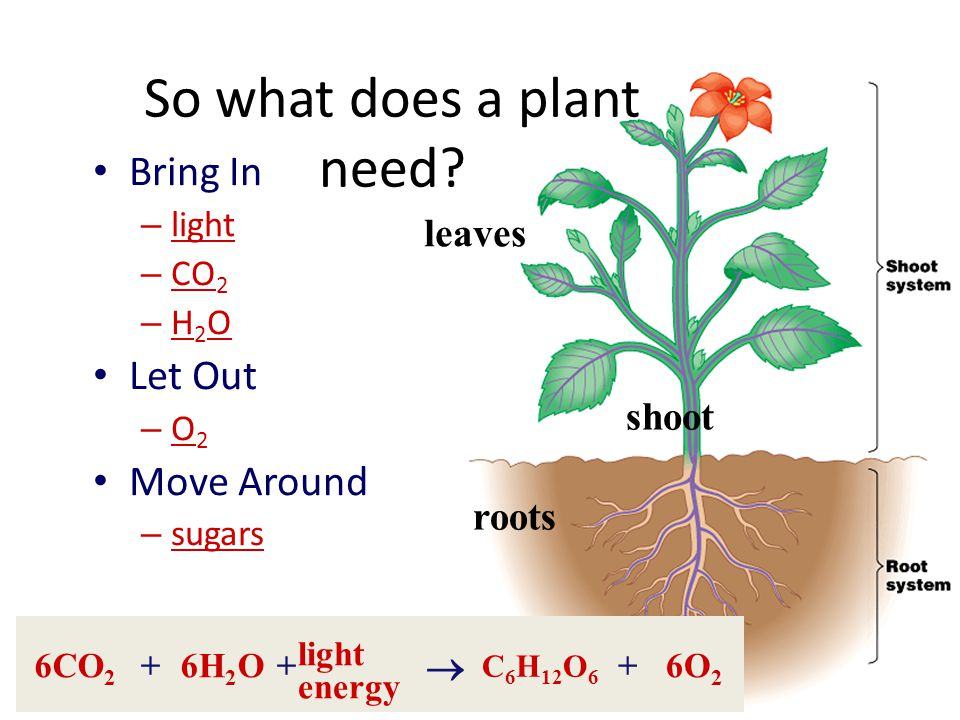 """What do plants need to grow? The """"factory"""" for trapping energy & making sugars – chloroplast Fuels – sunlight – carbon dioxide – water The Products -"""