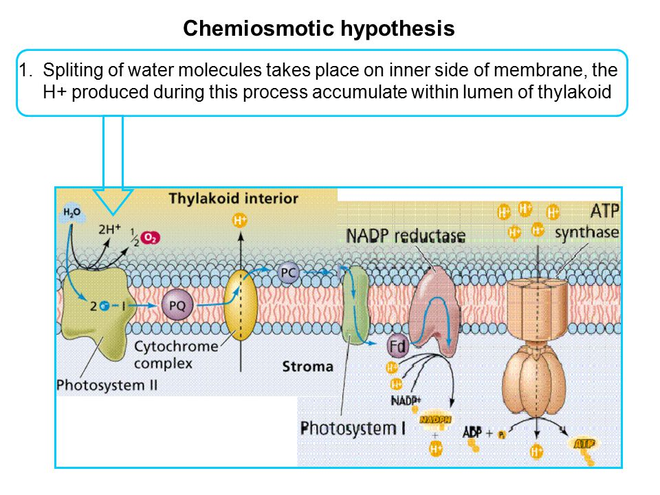 Chemiosmotic hypothesis 1.Spliting of water molecules takes place on inner side of membrane, the H+ produced during this process accumulate within lum
