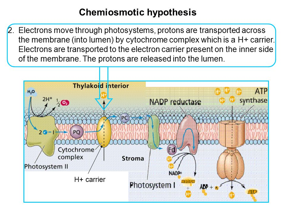 Chemiosmotic hypothesis 2.Electrons move through photosystems, protons are transported across the membrane (into lumen) by cytochrome complex which is