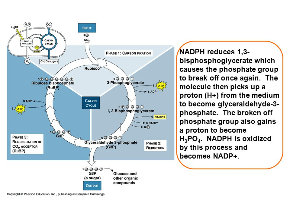 NADPH reduces 1,3- bisphosphoglycerate which causes the phosphate group to break off once again. The molecule then picks up a proton (H+) from the med