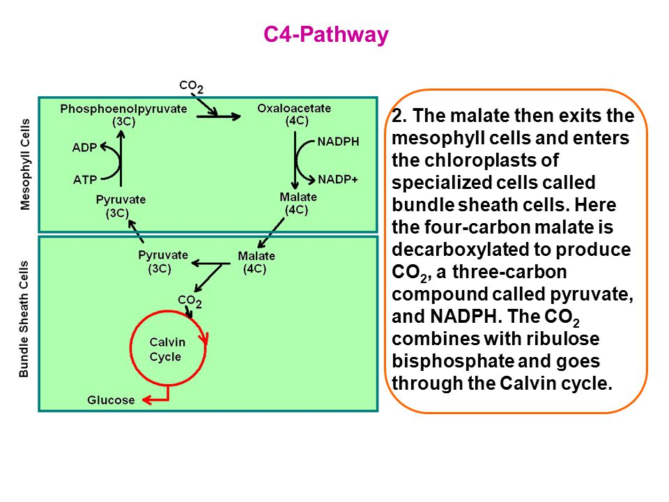 C4-Pathway 2. The malate then exits the mesophyll cells and enters the chloroplasts of specialized cells called bundle sheath cells. Here the four-car