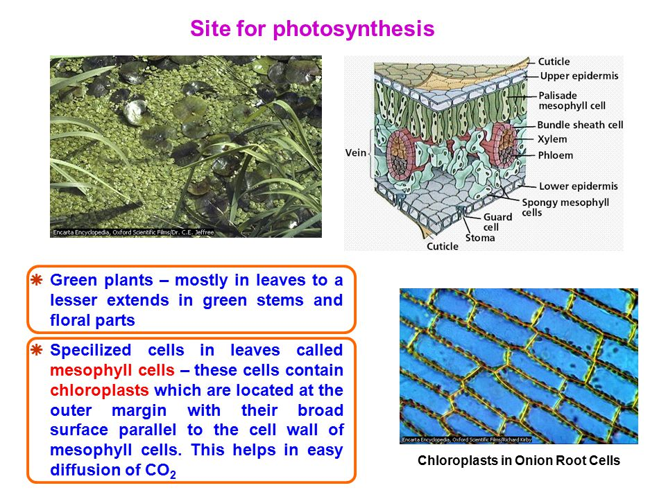 Phase 1: Carbon Fixation CO 2 comes into the stroma of the chloroplast.
