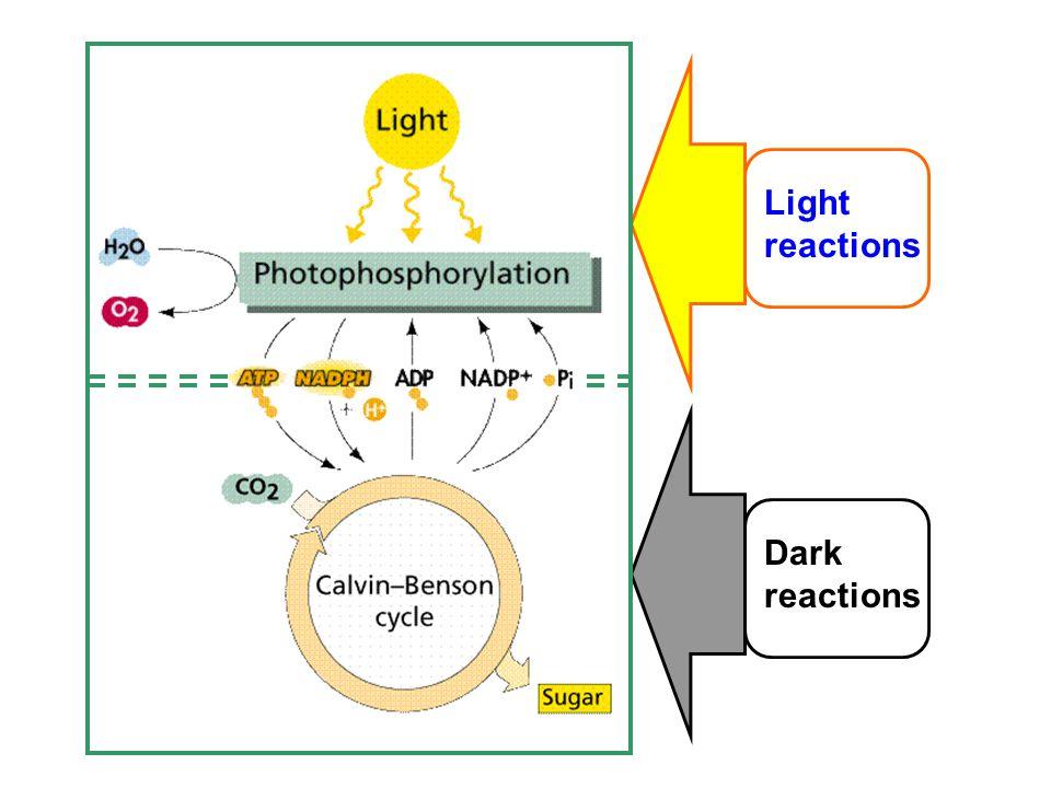 Light reactions Dark reactions