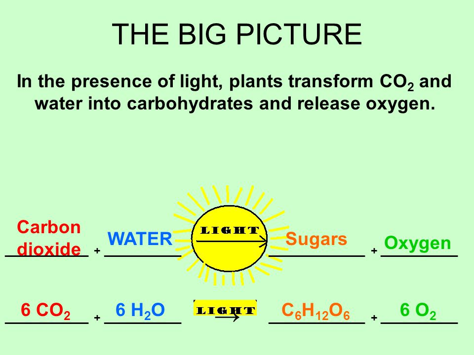 THE BIG PICTURE In the presence of light, plants transform CO 2 and water into carbohydrates and release oxygen.