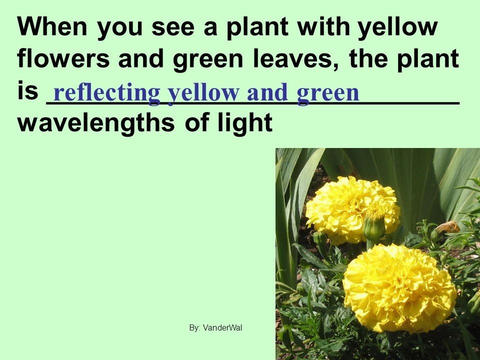 When you see a plant with yellow flowers and green leaves, the plant is ____________________________ wavelengths of light reflecting yellow and green By: VanderWal