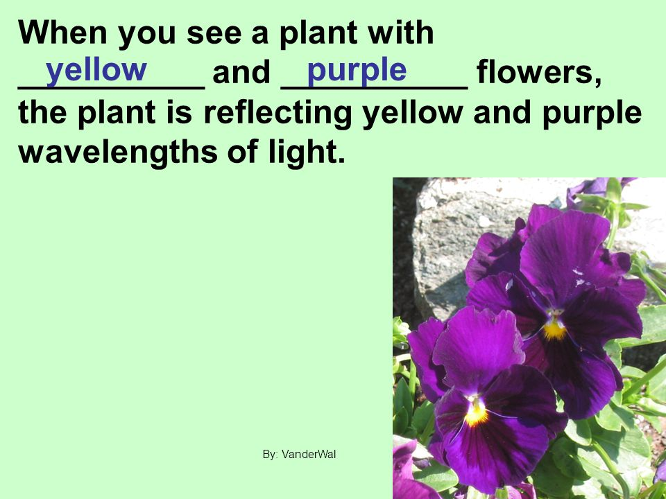 When you see a plant with __________ and __________ flowers, the plant is reflecting yellow and purple wavelengths of light.