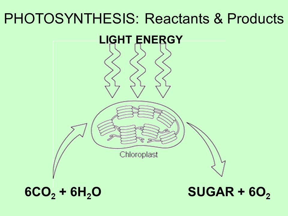 PHOTOSYNTHESIS: Reactants & Products LIGHT ENERGY 6CO 2 + 6H 2 OSUGAR + 6O 2